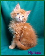 Очень крупные котята мейн-кун