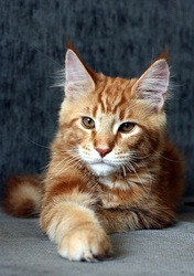 Мэйн - Кун котик,  4 месяца