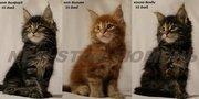 великолепные котята породы мейн кун