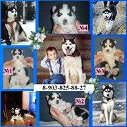 ХАСКИ черно-белых красивенных щеночков с яркими голубыми глазками!!