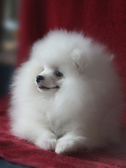 шпици щеночки белого окраса