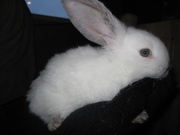Продаются кролики различных  мясных пород для разведения